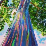 Eucalyptus arc-en-ciel