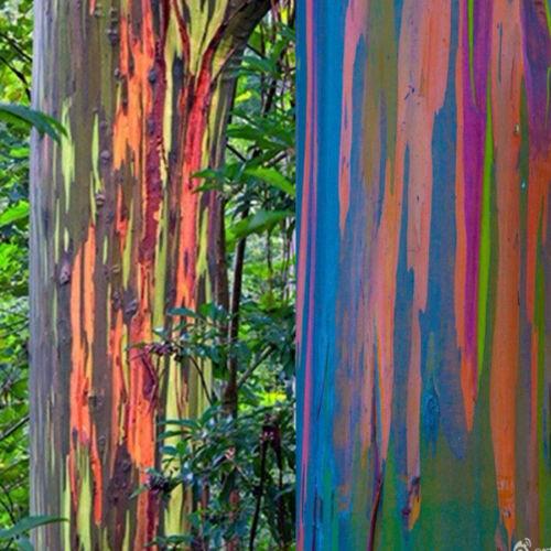 Tronc de l'eucalyptus arc-en-ciel